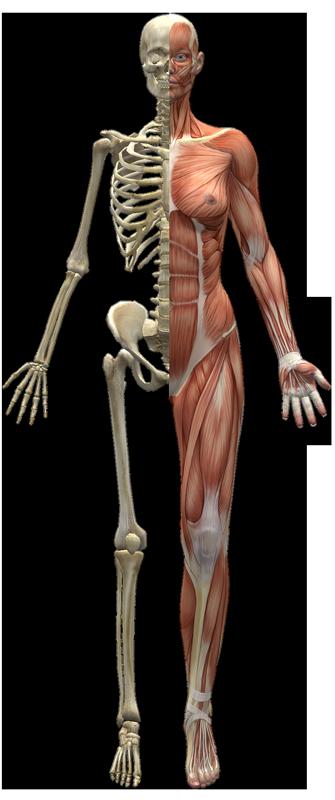 Jennifer Muller ostéopathe Paris16 corps humain