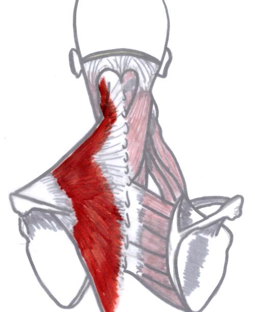 Jennifer Muller ostéopathe muscle trapèze