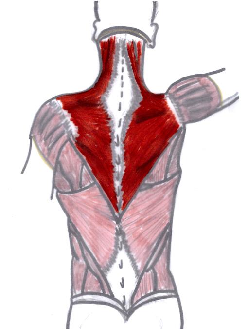 Jennifer Muller ostéopathe trapèze