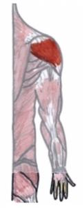 Jennifer Muller ostéopathe deltoïde dos